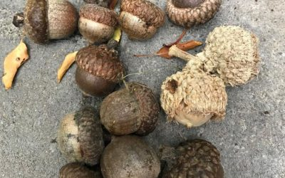 How to Plant an Acorn, Prairie Grass Companion, Zucchini Hotcakes